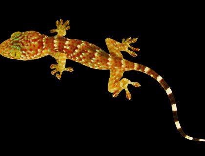 dlaczego gekon chodzi po szybie, jak gekon chodzi, wypustki na palcach gekona, gekony, animalistka.pl, animalistka, blog o zwierzętach, zoologiczny