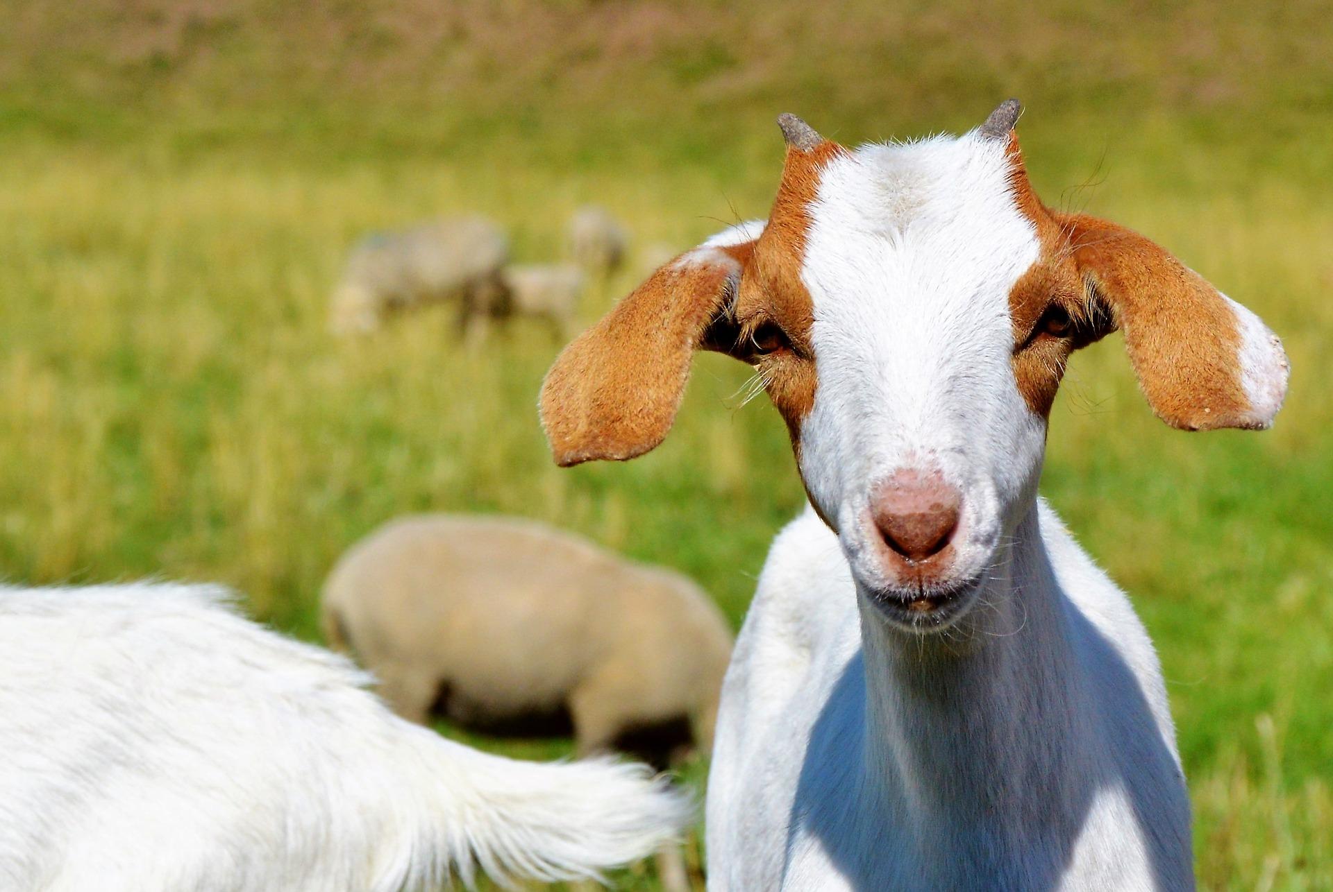 samce, samice, młode, jak się nazywa samica, samiec, młode krowy, kozy, dzika, łosia, żubra, sarny, jelenia, łoszak, warchlak, skop, nazwy zwierząt, animalistka.pl, animalistka, blog o zwierzętach
