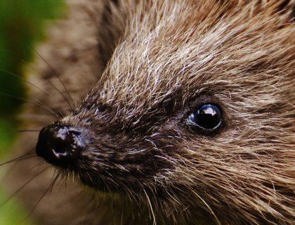czy jeże jedzą jabłka, co jedzą jeże, czym karmić jeża, co je jeż, animalistka, animalistka.pl, blog o zwierzętach, dla miłośników zwierząt, zoologiczny
