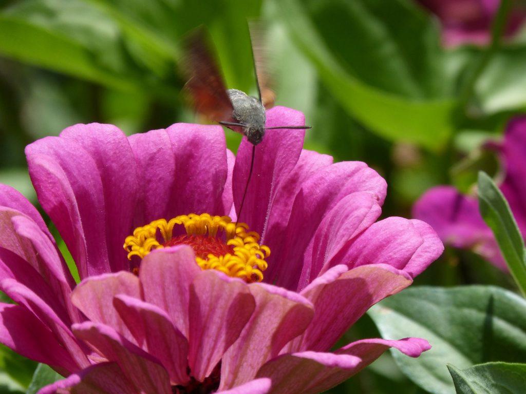 czy w polsce żyją kolibry, czy to jest koliber, co to za zwierzę, fruczak gołąbek, blog o zwierzętach, zoologiczny, dla miłośników zwierząt, animalistka.pl, animalistka