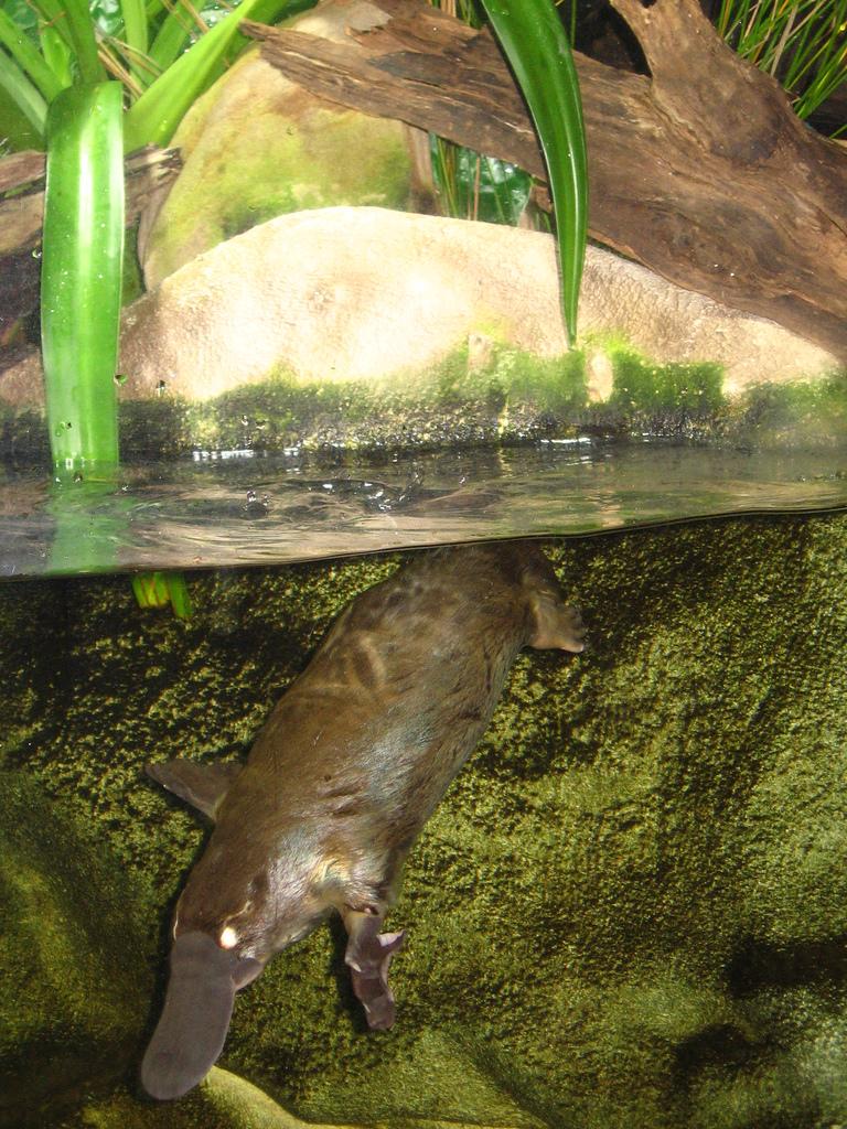 Dziobak, ssak, stekowiec, jak karmi młode, budowa dziobaka, animalistka.pl, animalistka, blog o zwierzętach