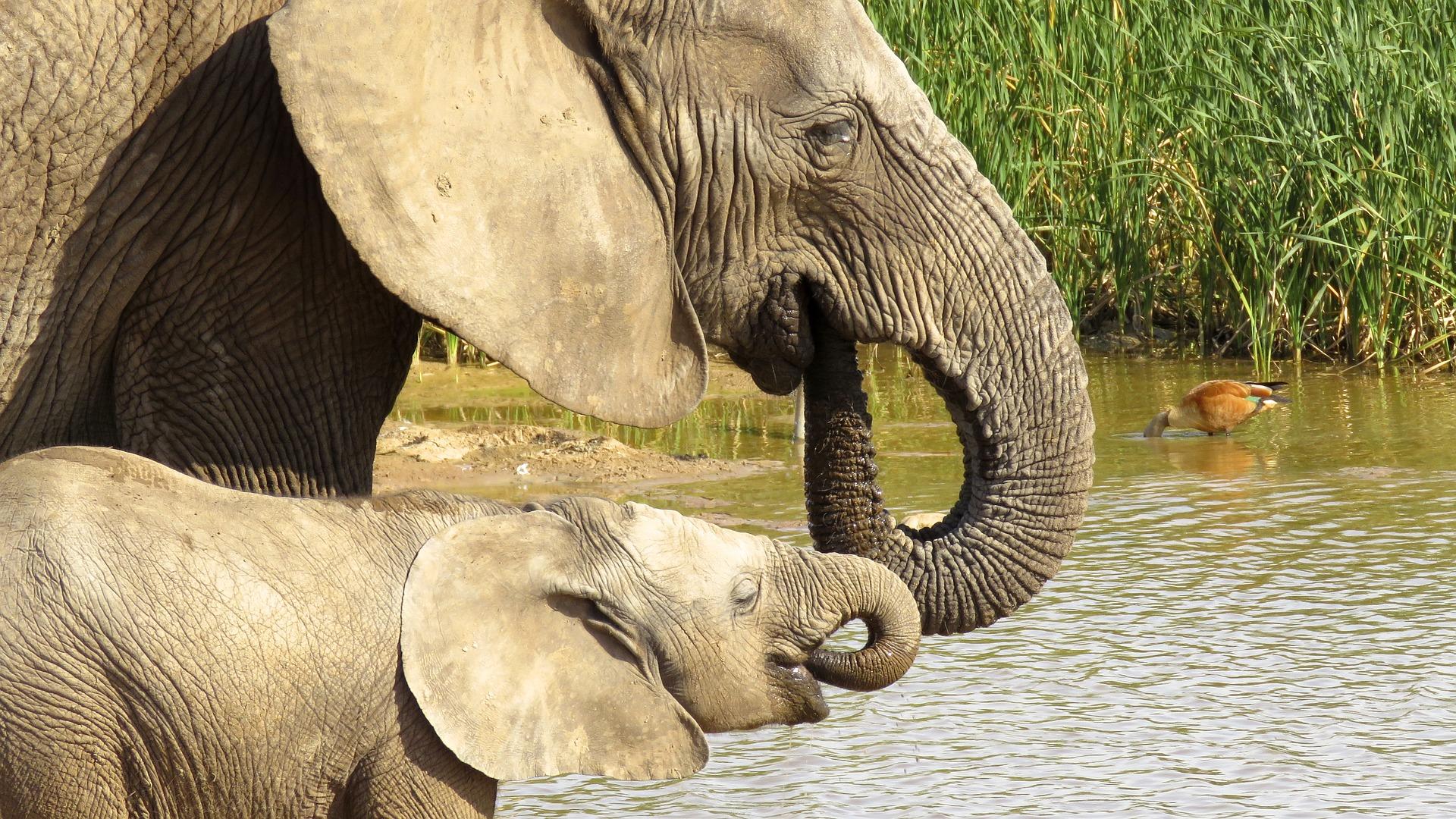 dlaczego słoń ma zmarszczki, po co słoniom zmarszczki, budowa słonia, ile żyje, animalistka, animalistka.pl, blog o zwierzętach