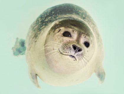 foka czy uchatka, różnice, czym różni się od uchatki, jak rozpoznać foki i, blog o zwierzętach, animalistka, animalistka.pl