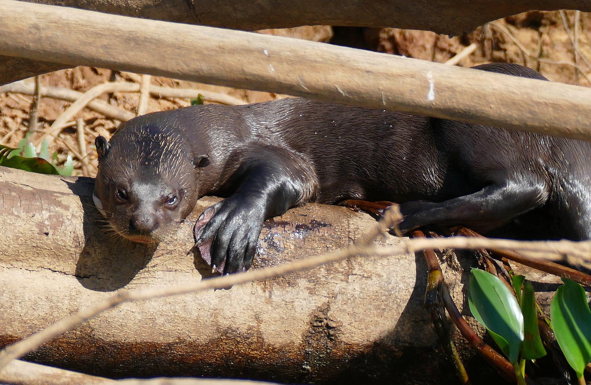 arirania amazońska, wydra olbrzymia, wilk rzeczny, blog o zwierzętach, animalistka, animalistka.pl