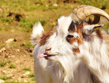 mdlejąca koza mdlejące kozy z tennessee fainting goats koza miotoniczna miotonia wrodzona rasa kóz blog o zwierzętach, animalistka, animalistka.pl