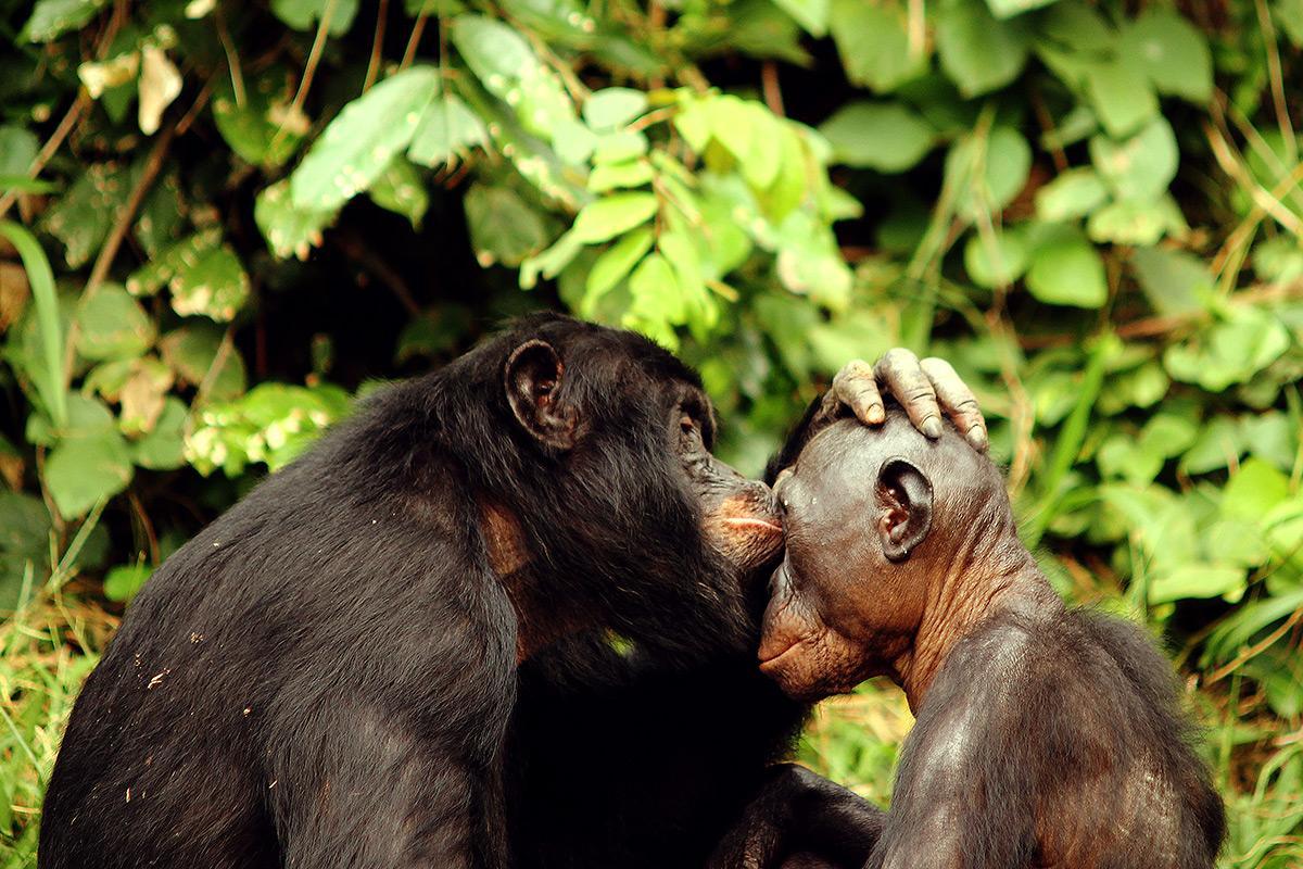 bonobo, szympans karłowaty, bonobo project, światowy dzień bonobo, małpa, małpy, naczelne, blog o zwierzętach, animalistka, animalistka.pl