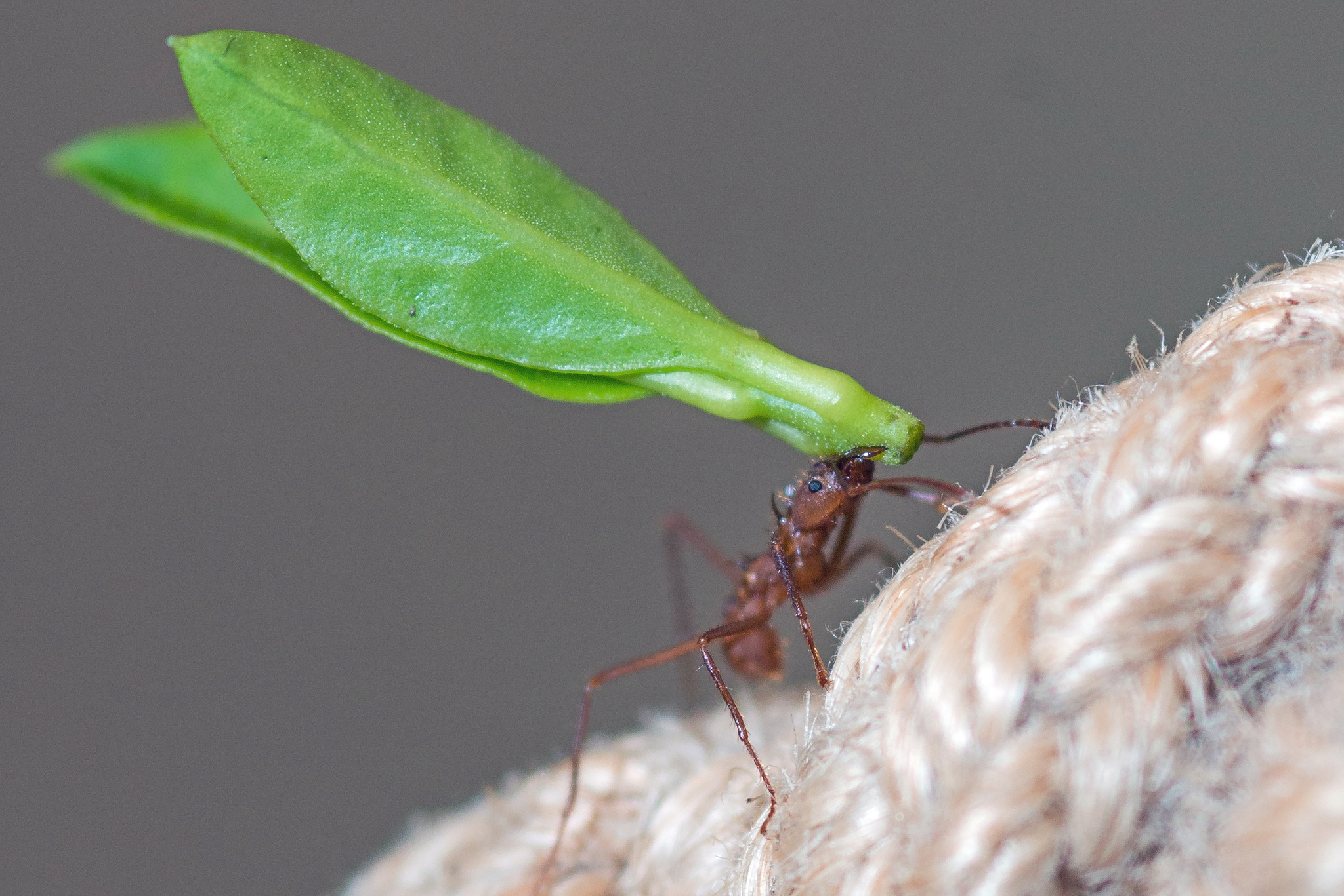 mrówki grzybiarki, mrówki parasolowe, amazonia, dżungla, owady z ameryki południowej, animalistka, mrówki hodujące grzyby