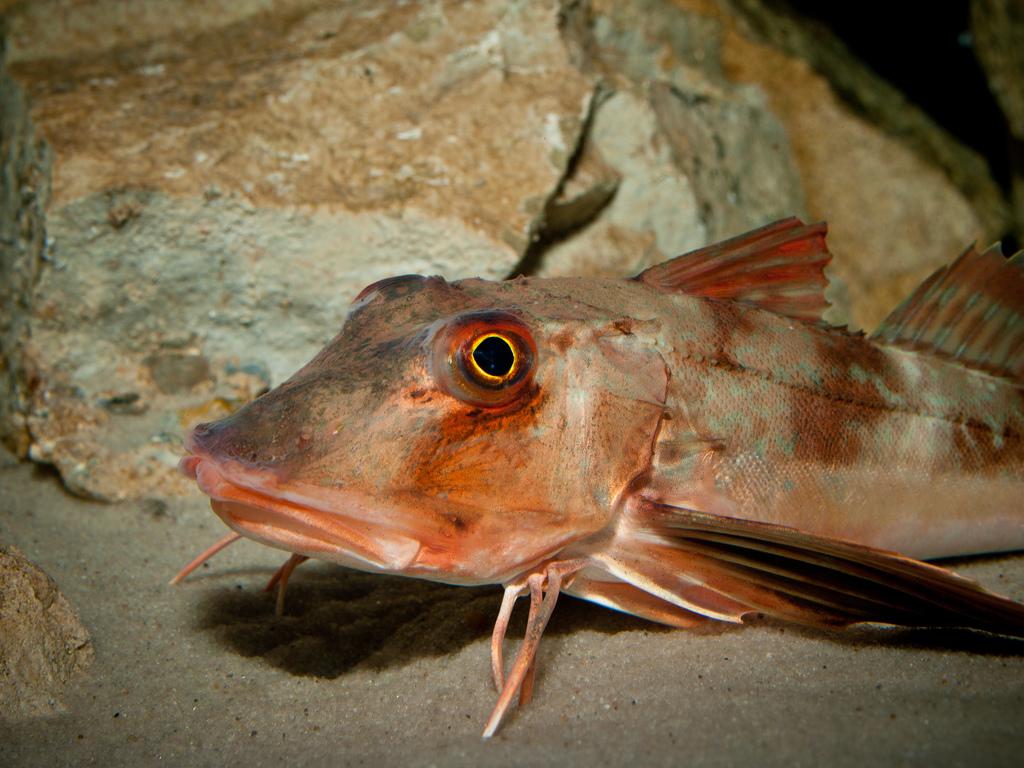 najdziwniejsze polskie ryby polski, dziwne, kurek czerwony,  wiosłonos amerykański, belona, minóg morski, animalistka.pl, blog o zwierzętach