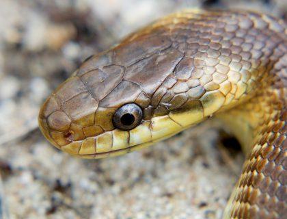 węże Polski, wąż Eskulapa, największy gad w Polsce, najlepszy blog o dzikich zwierzętach, animalistka.pl