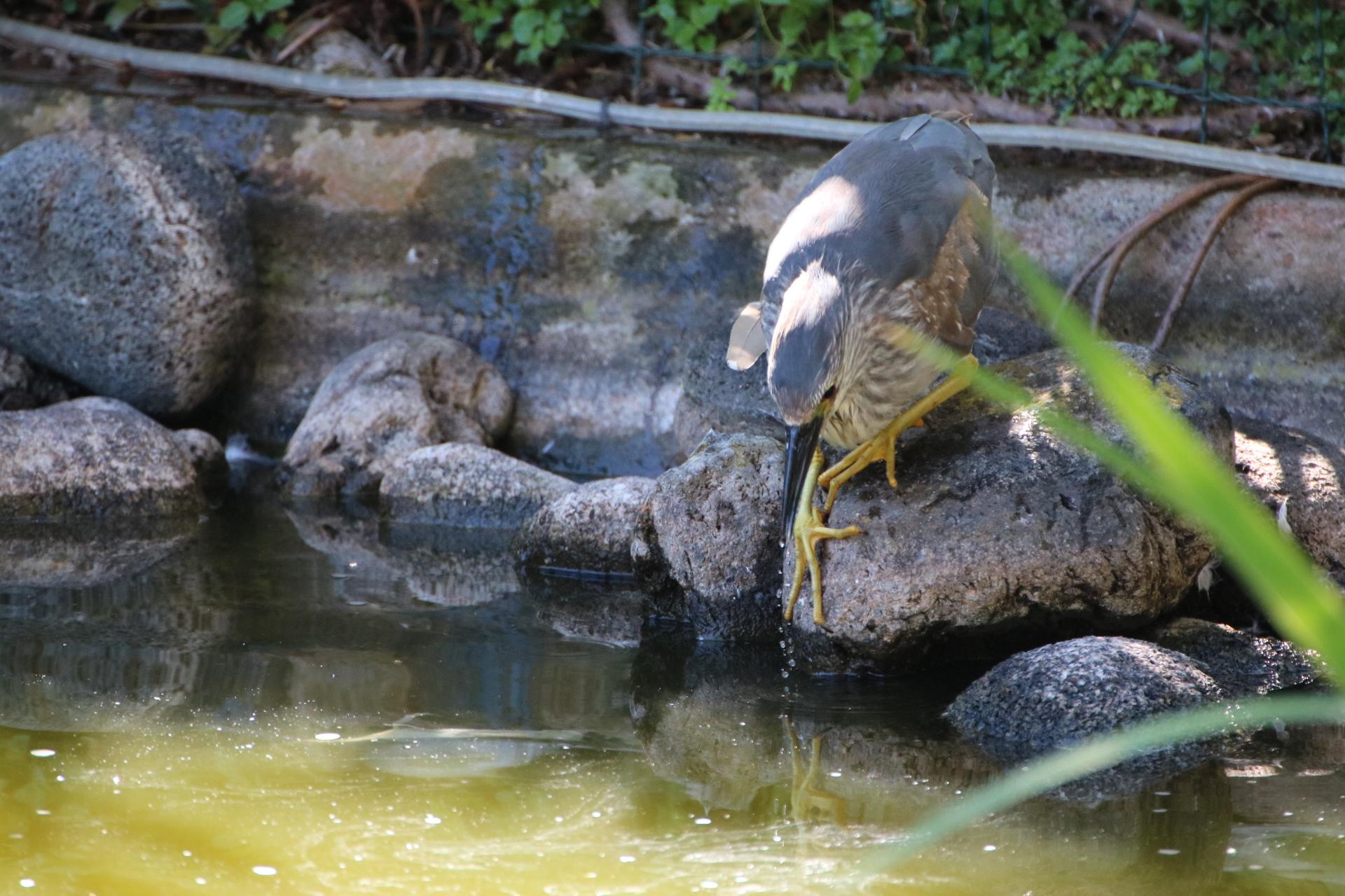 Ślepowron, Teneryfa, animalistka.pl, blog o dzikich zwierzętach
