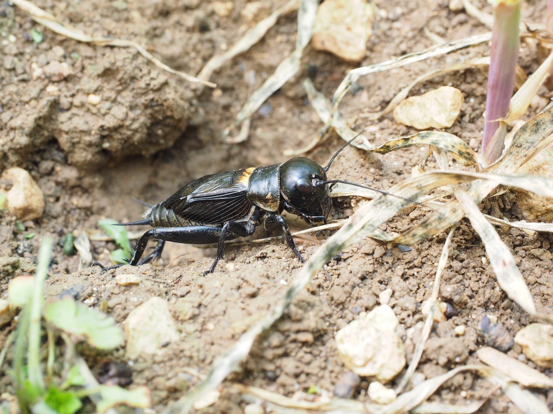 Świerszcz domowy, dlaczego świerszcze cykają, jak świerszcz gra, grają, budowa świerszcza, prostoskrzydłe, blog o dzikich zwierzętach, animalistka.pl