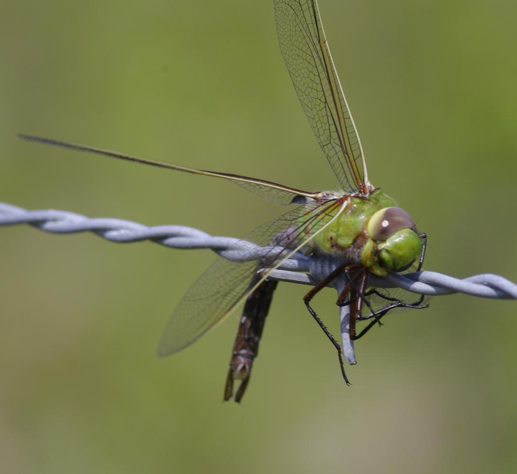 dzierzby, spiżarnia, gąsiorek, srokosz, dzierzba, dziwne zwyczaje, blog o dzikich zwierzętach, animalistka.pl