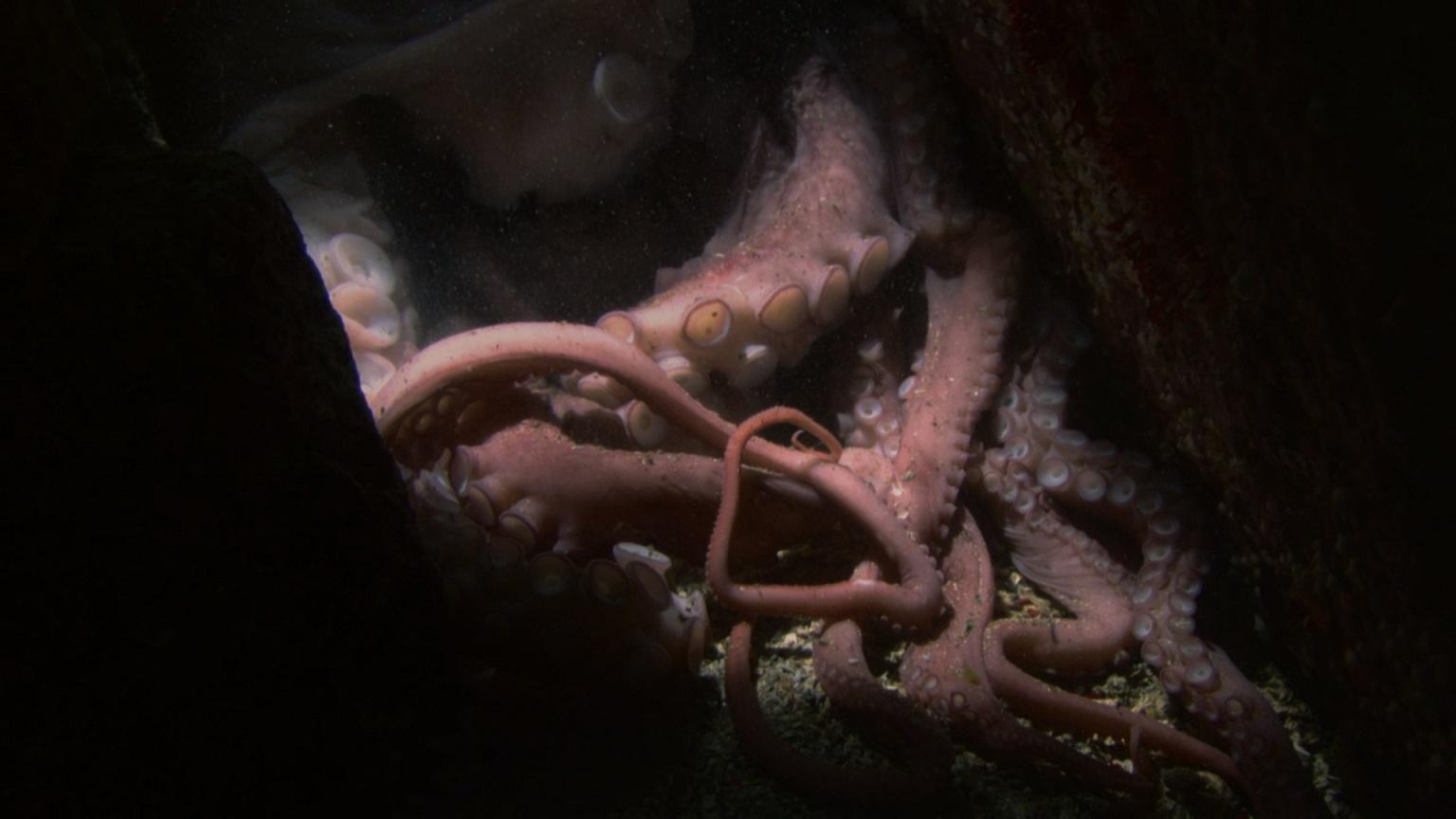 ośmiornica olbrzymia, głowonogi, jak się rozmnaża, ile żyje, ciekawostki, blog o dzikich zwierzętach, animalistka.pl