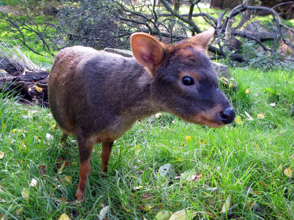 pudu północny, pudu południowy, najmniejsza sarna na świecie, najmniejszy jeleń, blog o dzikich zwierzętach, animalistka.pl
