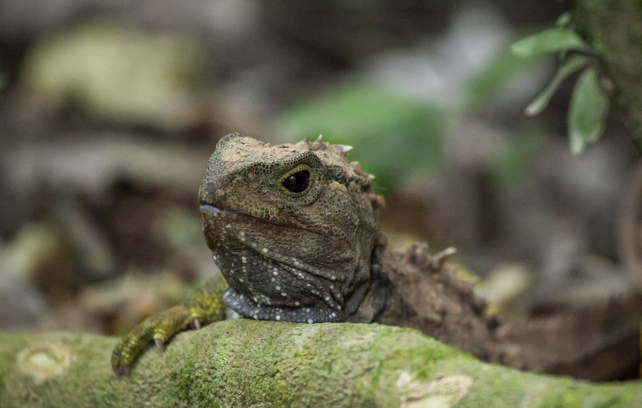 hatteria, endemit, nowa zelandia, tuatara, oko ciemieniowe, żywa skamieniałość, animalistka.pl, animalistka, blog o zwierzętach