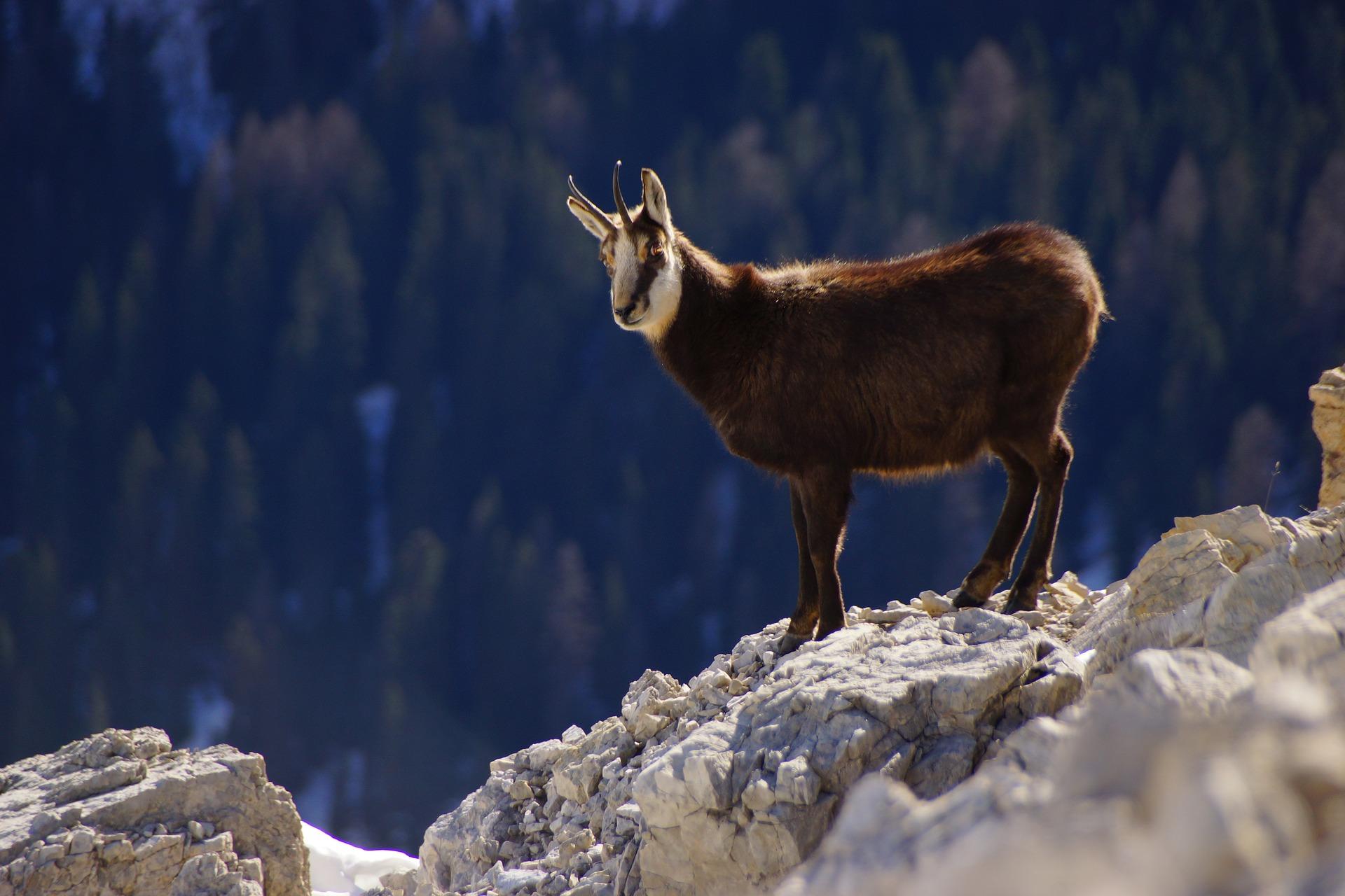 kozica, kozica północna, kozica tatrzańska, zwierzęta w górach, racice kozicy, budowa, animalistka.pl, blog o zwierzętach, animalistka
