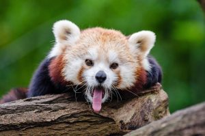 panda mała, pandka ruda, do jakiej rodziny należy, szopowate, niedźwiedziowate, pandkowate, przynależność pandy małej, animalistka.pl, animalistka, blog o zwierzętach