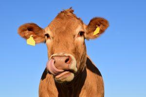 Krowa z żubrami, żubry, na gigancie, Puszcza Białowieska, uciekinierka, blog o zwierzętach, animalistka, animalistka.pl