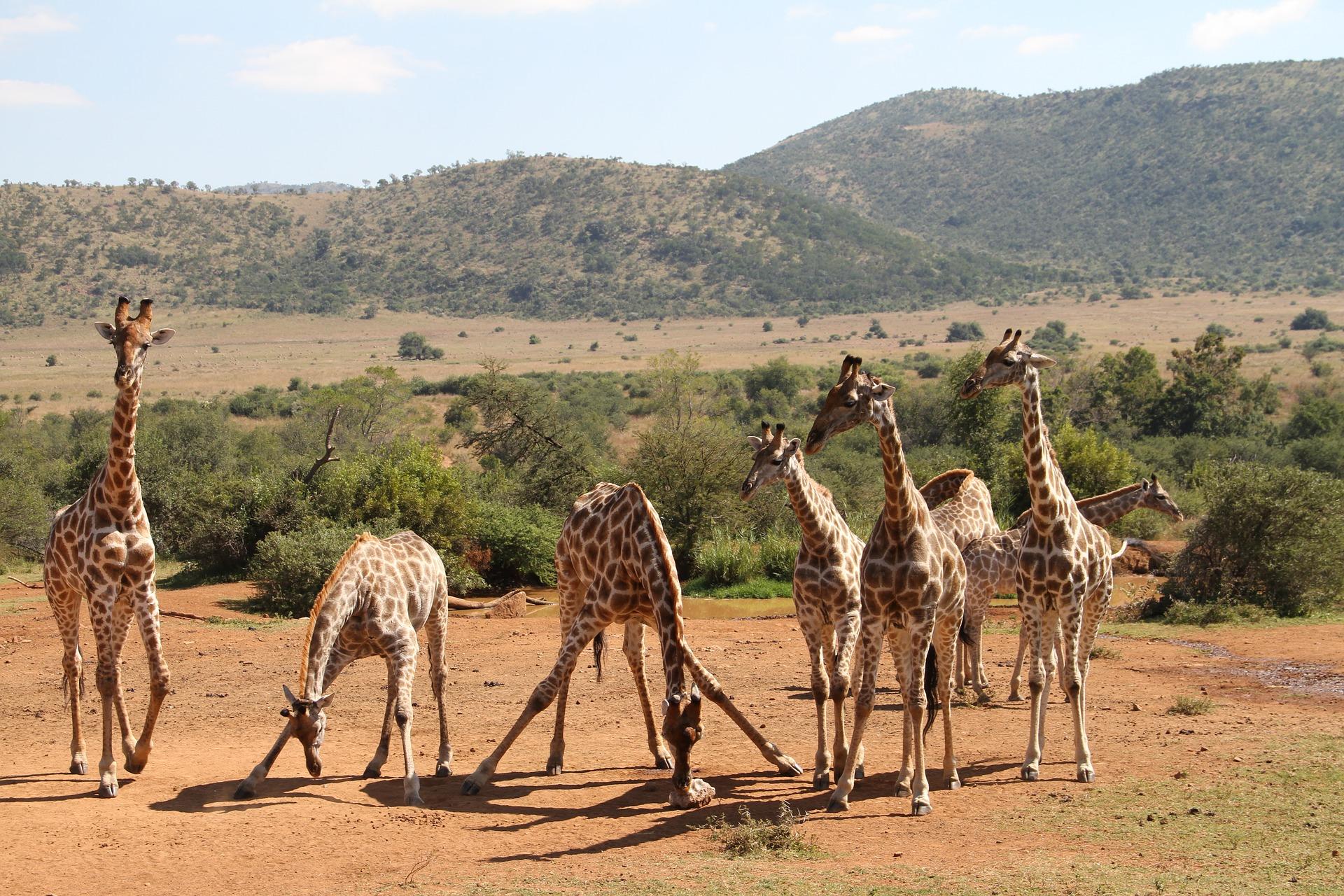 po co żyrafie długa szyja żyrafy żyrafa budowa ilość kości muzeum historii naturalnej w londynie natural history museum london blog o zwierzętach animalistka animalistka.pl