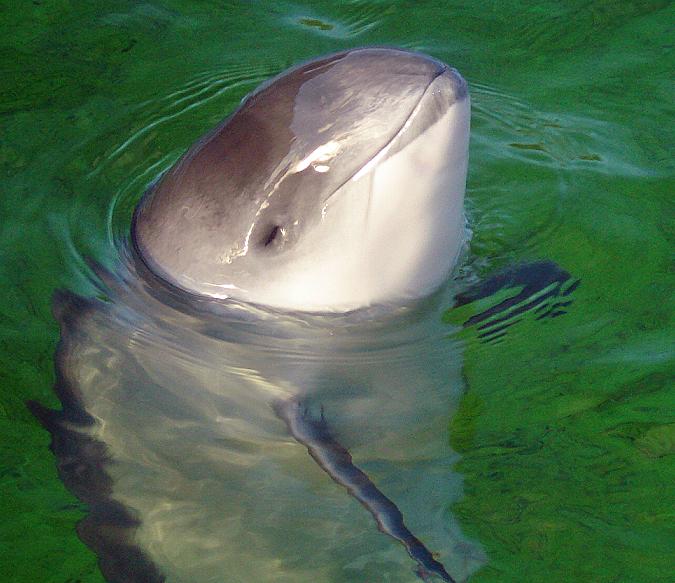 walenie delfiny w Polsce, w Morzu Bałtyckim, humbak, długopłetwiec oceaniczny, finwal, delfin, pręgoboki, białonosy, kaszalot, morświn, Bałtyk