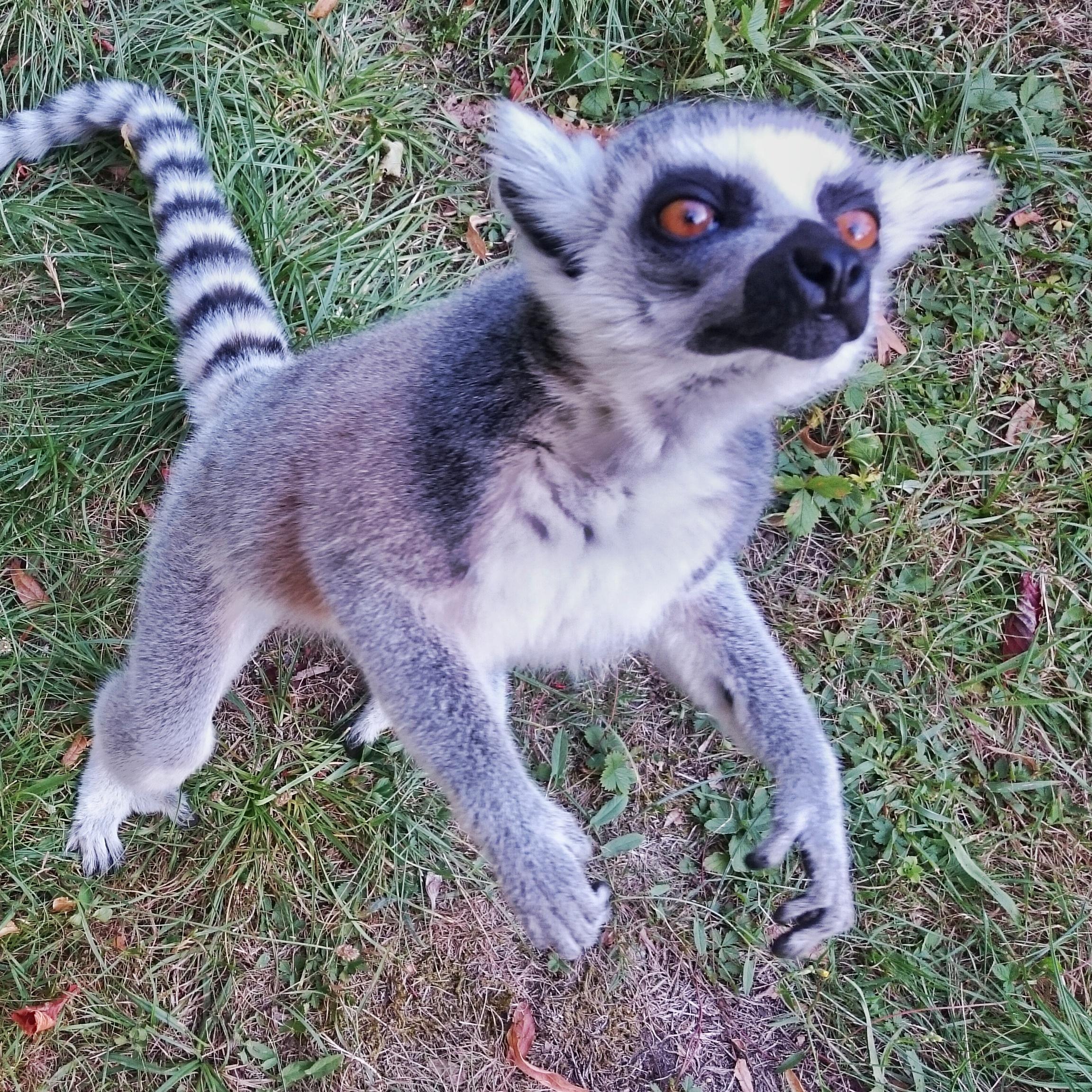 karmienie lemurów, zoo wrocław, wrocławskie, ogród zoologiczny, wyspa lemurów, lemur katta, król julian co je, animalistka.pl, blog o zwierzętach