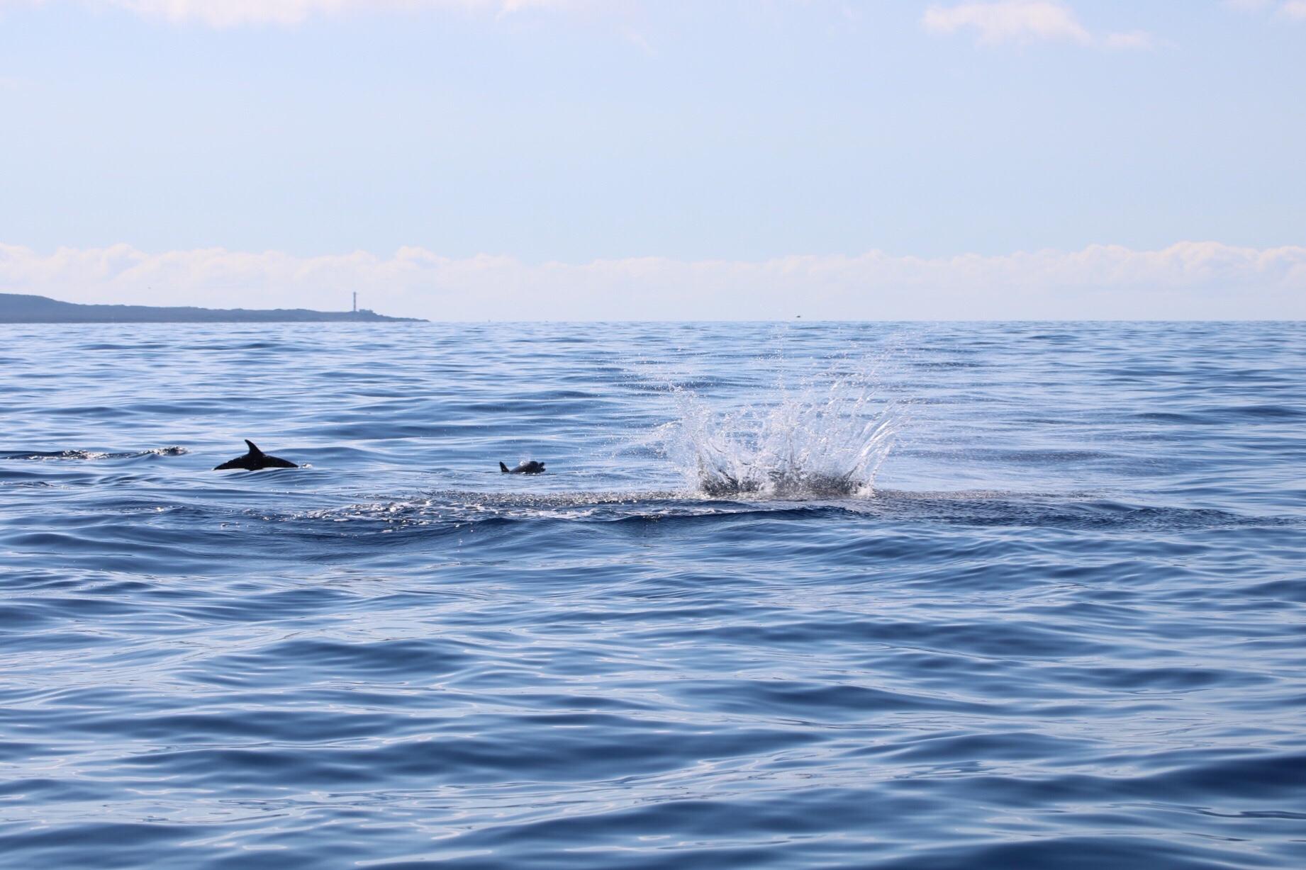obserwacja delfinów, rejs na delfiny, ocean atlantycki, wycieczki statkiem teneryfa, los cristianos, blog o dzikich zwierzętach, animalistka.pl