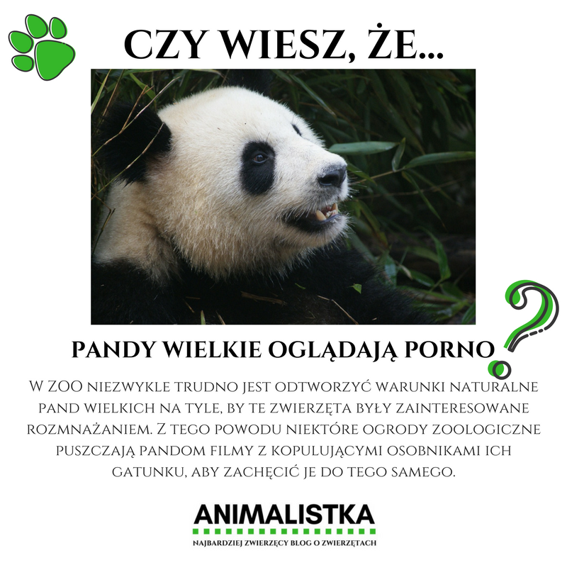 ciekawostki o zwierzętach, czy wiesz, że, fun fact, lwy żyją w azji, gdzie żyją, najmniejszy pancernik, zyzuś tłuścioch, pająk, czym się różni wróbel od mazurka, dlaczego pszczoły tańczą, największy kot świata, pandy oglądają porno, jaszczurka, która biega po wodzie, ile wielbłąd traci wody, ile pije wody, największe zwierzę świata, blog o dzikich zwierzętach, animalistka.pl