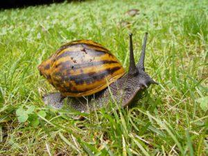 achatina największy lądowy ślimak świata blog o dzikich zwierzętach animalistka.pl