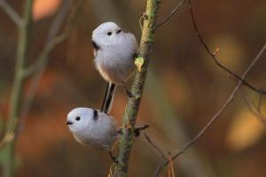 Raniuszek, raniuszki, gniazdo raniuszka, budowa gniazda, etapy budowy, gdzie żyją, ptaki polski, blog o dzikich zwierzętach, animalistka.pl