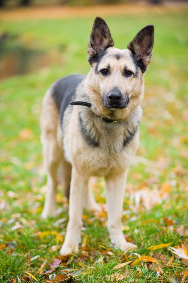 adopcja psa, pies do adopcji, owczarek niemiecki, jak adoptować, blog o zwierzętach, animalistka.pl