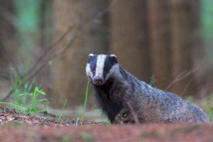 borsuk, łasica, leśne zwierzęta polskie, co je, czy zapada w sen zimowy, gdzie żyje, blog o dzikich zwierzętach, animalistka.pl
