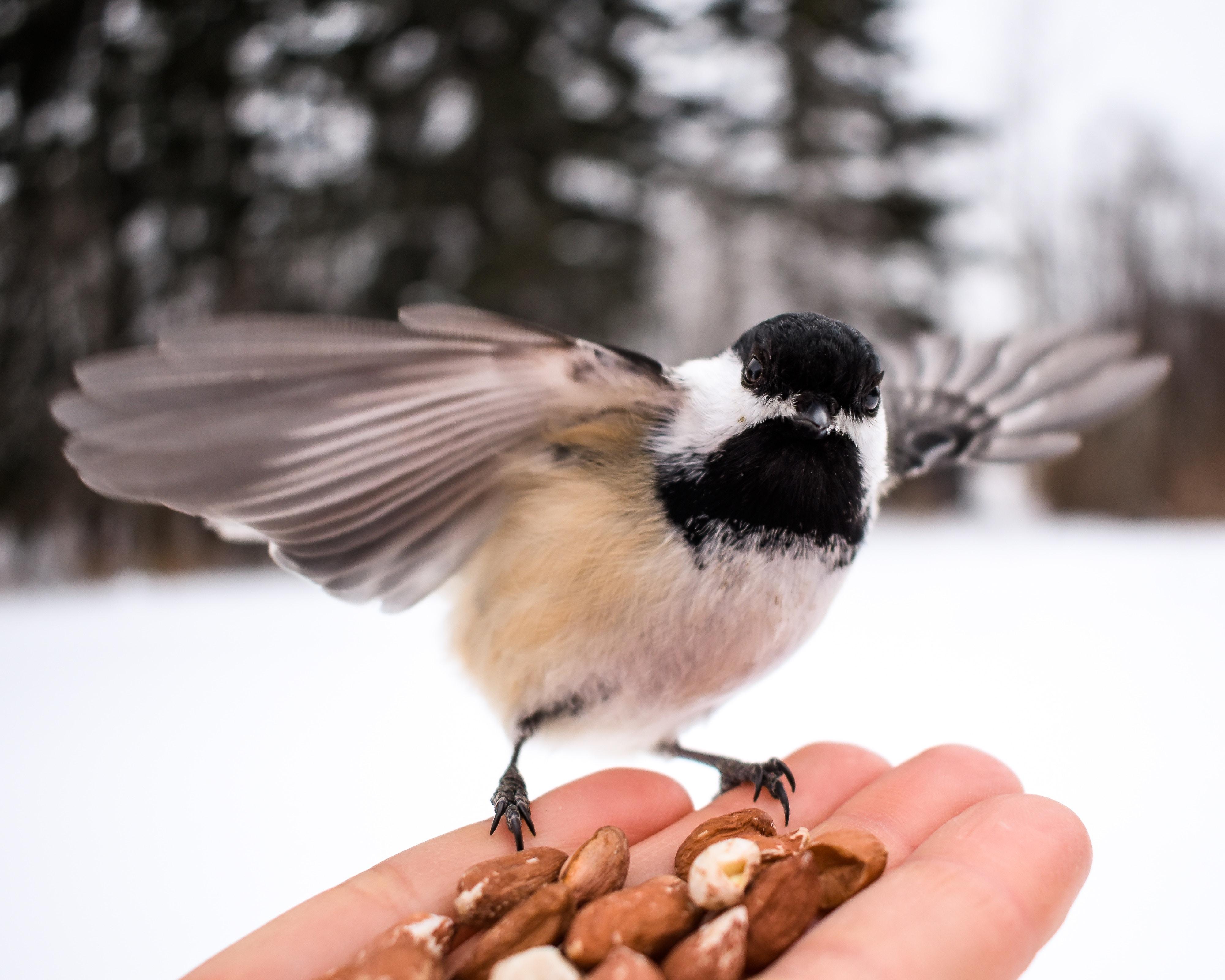 karmienie ptaków, dokarmianie, karmnik, czy karmić ptaki z ręki, oswajanie ptaków, blog o dzikich zwierzętach, animalistka.pl