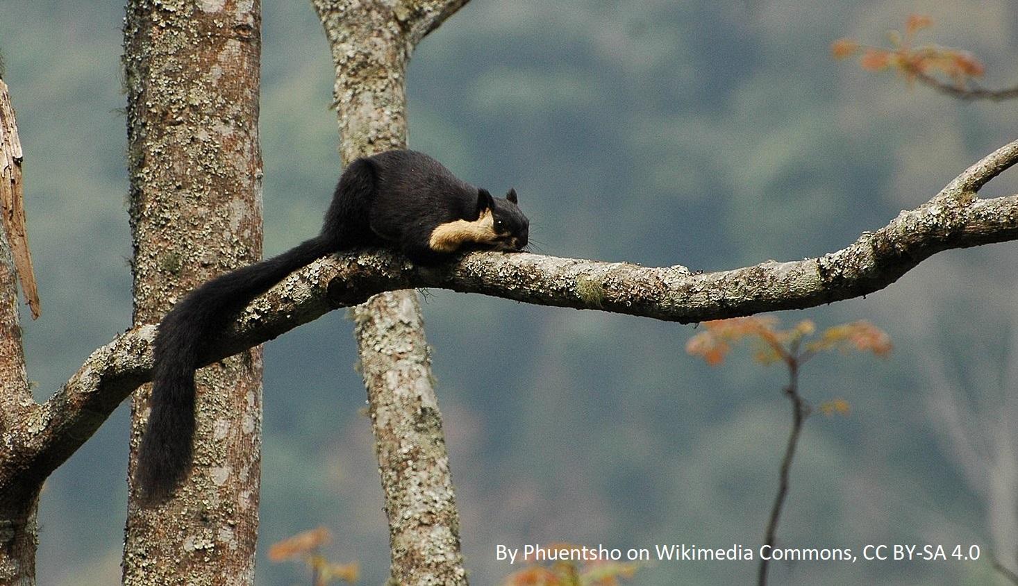 pantera mglista, paw złoty, gekon toke, waran paskowany, dzioborożec wielki, , makaki, małpy, słoń indyjski, dzikie zwierzęta w Tajlandii, Bangkok, Phuket, Azja, jakie można tam spotkać, jakie żyją, TUI biuro podróży, wakacje, wczasy, zwiedzanie, blog o zwierzętach, www.animalistka.pl, tygrys azjatycki, tapir czaprakowy, kobra nepalska,