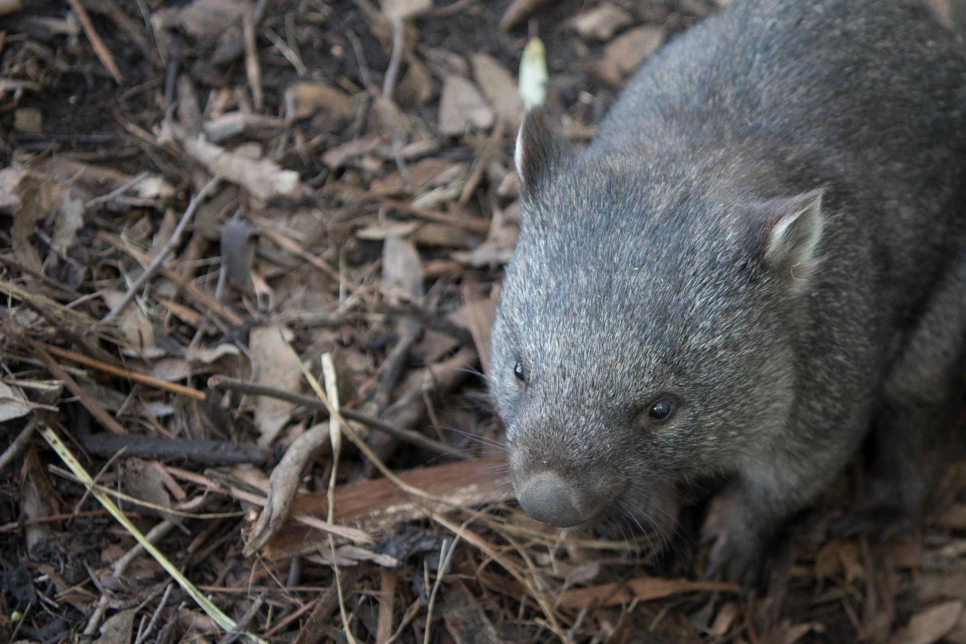wombat, kwadratowa kupa, torbacz, australijskie zwierzęta, blog o dzikich zwierzętach, animalistka.pl