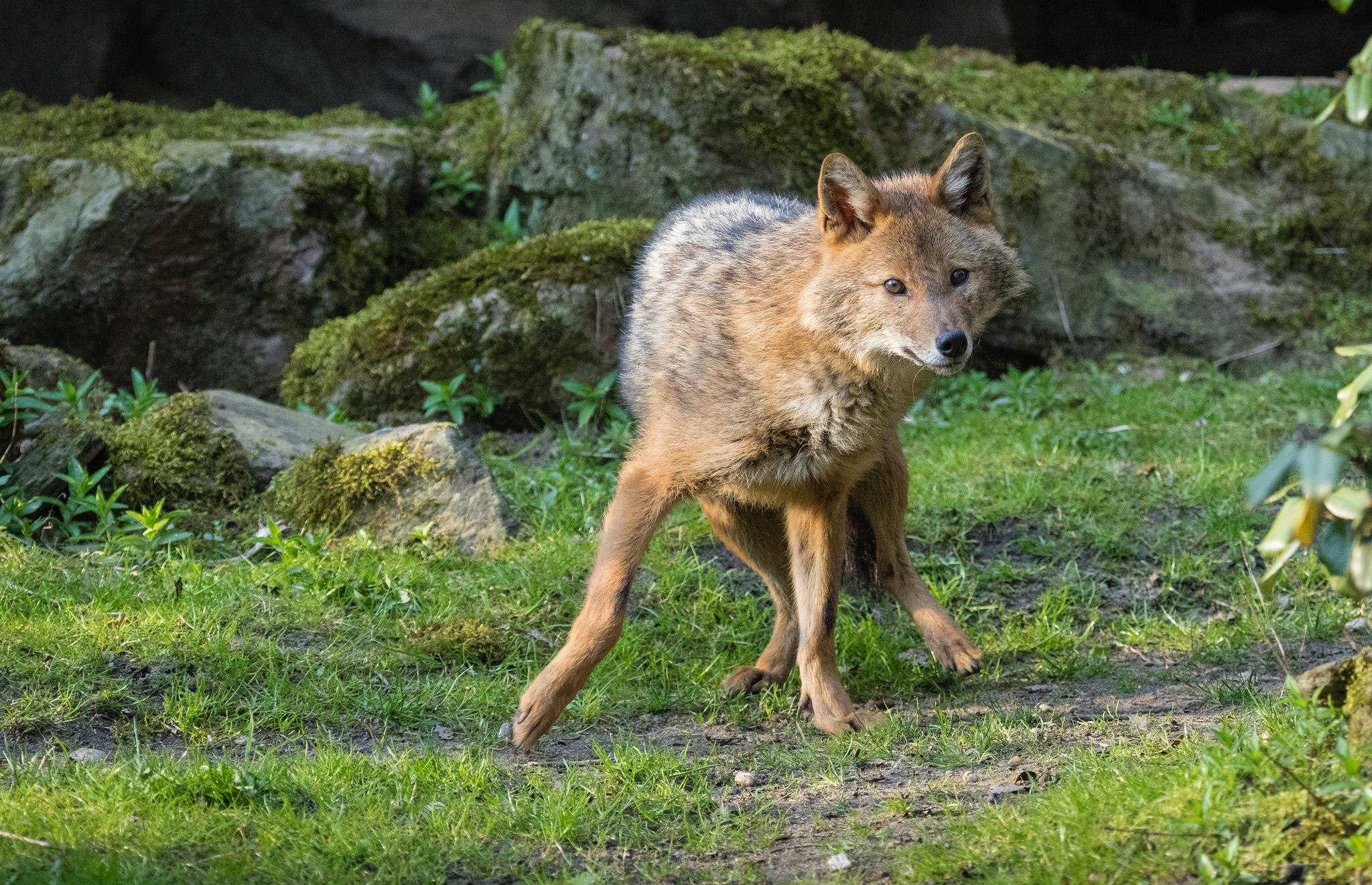 najdziwniejsze polskie ssaki, dziwne w Polsce, żołędnica europejska, morświn zwyczajny, chomik europejski, szakal złocisty, jakie zwierzęta występują w Polsce, ciekawe ssaki, animalistka, animalistka.pl, blog o dzikich zwierzętach