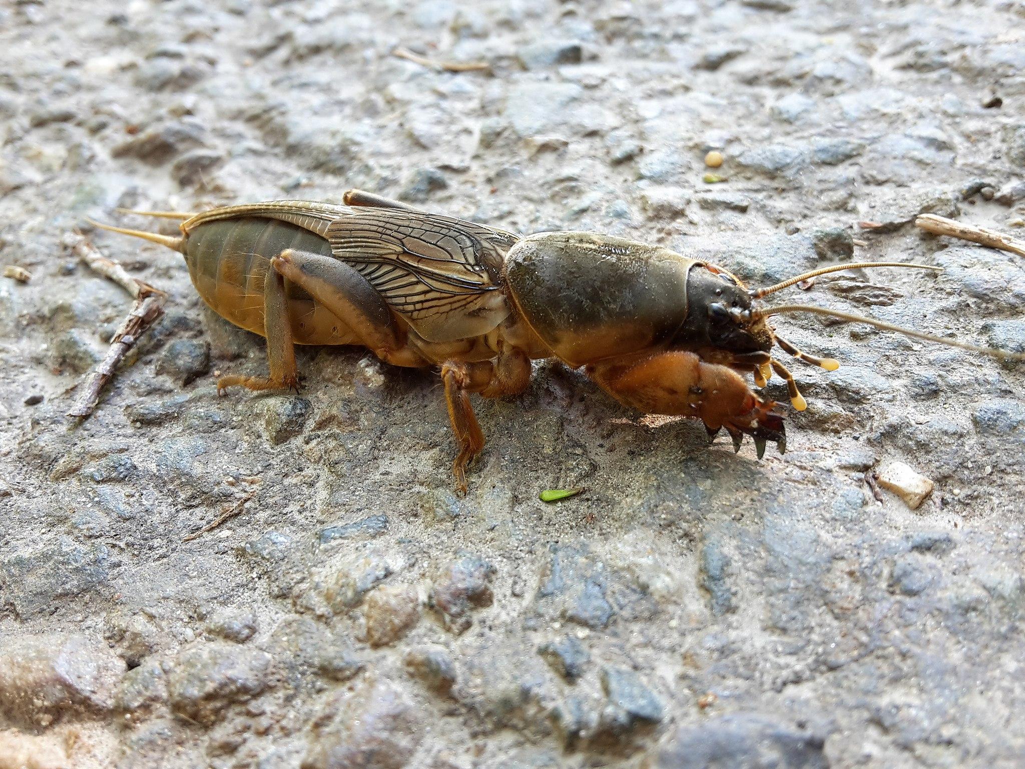 Turkuć podjadek, Gryllotalpa gryllotalpa, co to za owad, duży polski owad, żyje pod ziemią, animalistka.pl, animalistka, blog o dzikich zwierzętach, blog o zwierzętach