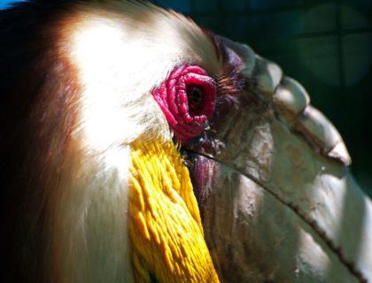 dzioborożec, gniazdo dzioborożca, dzioborożców, dzioborożce, jak opiekują się pisklętami, dziupla, sezon lęgowy, zamurowanie, blog o dzikich zwierzętach, animalistka, animalistka.pl