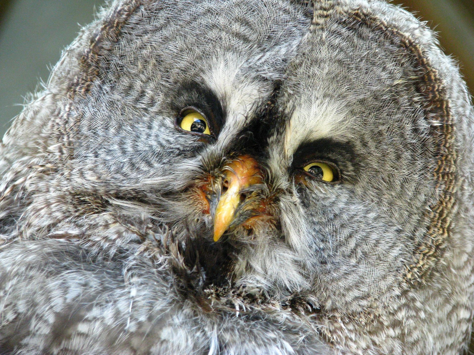 mądry jak sowa, powiedzenia o sowach, sowa symbolika, symbol, atena, minerwa, czy sowa jest inteligentna, mądre ptaki, inteligentne, blog o dzikich zwierzętach, animalistka.pl, animalistka
