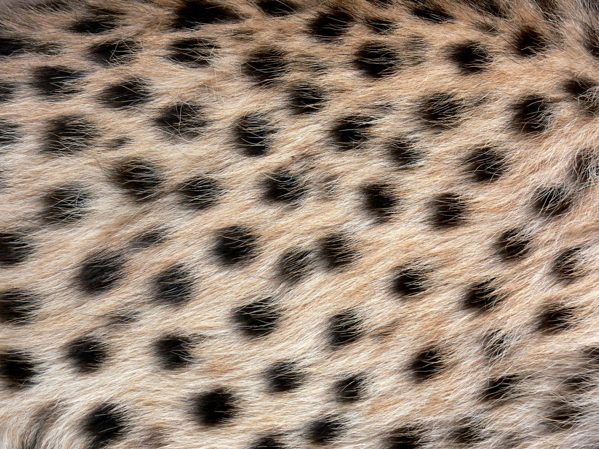 czyje to cętki, lampart, jaguar, gepard, jak rozpoznać cętki, wzór w panterkę, panterka, blog o dzikich zwierzętach, animalistka.pl, animalistka