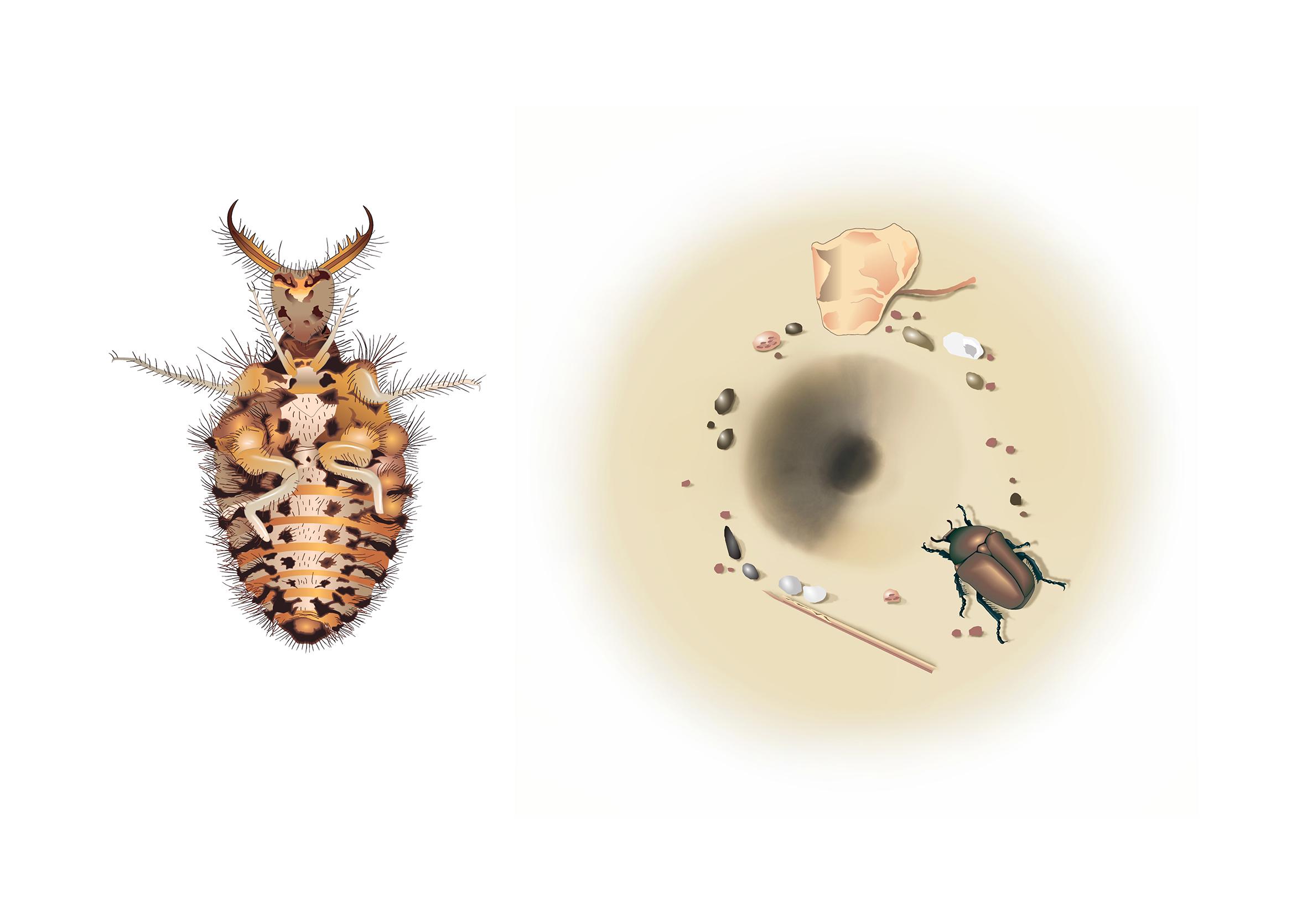 mrówkolew, jak poluje mrówkolew, larwa mrówkolwa, lejek w piasku, blog o dzikich zwierzętach, animalistka, animalistka.pl