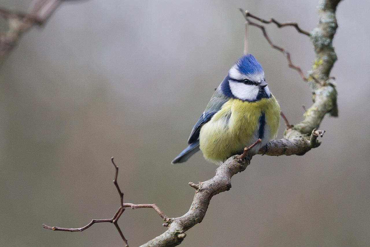 jaki to ptak, jaka to sikorka, blog o dzikich zwierzętach, quiz o zwierzętach, animalistka, animalistka.pl