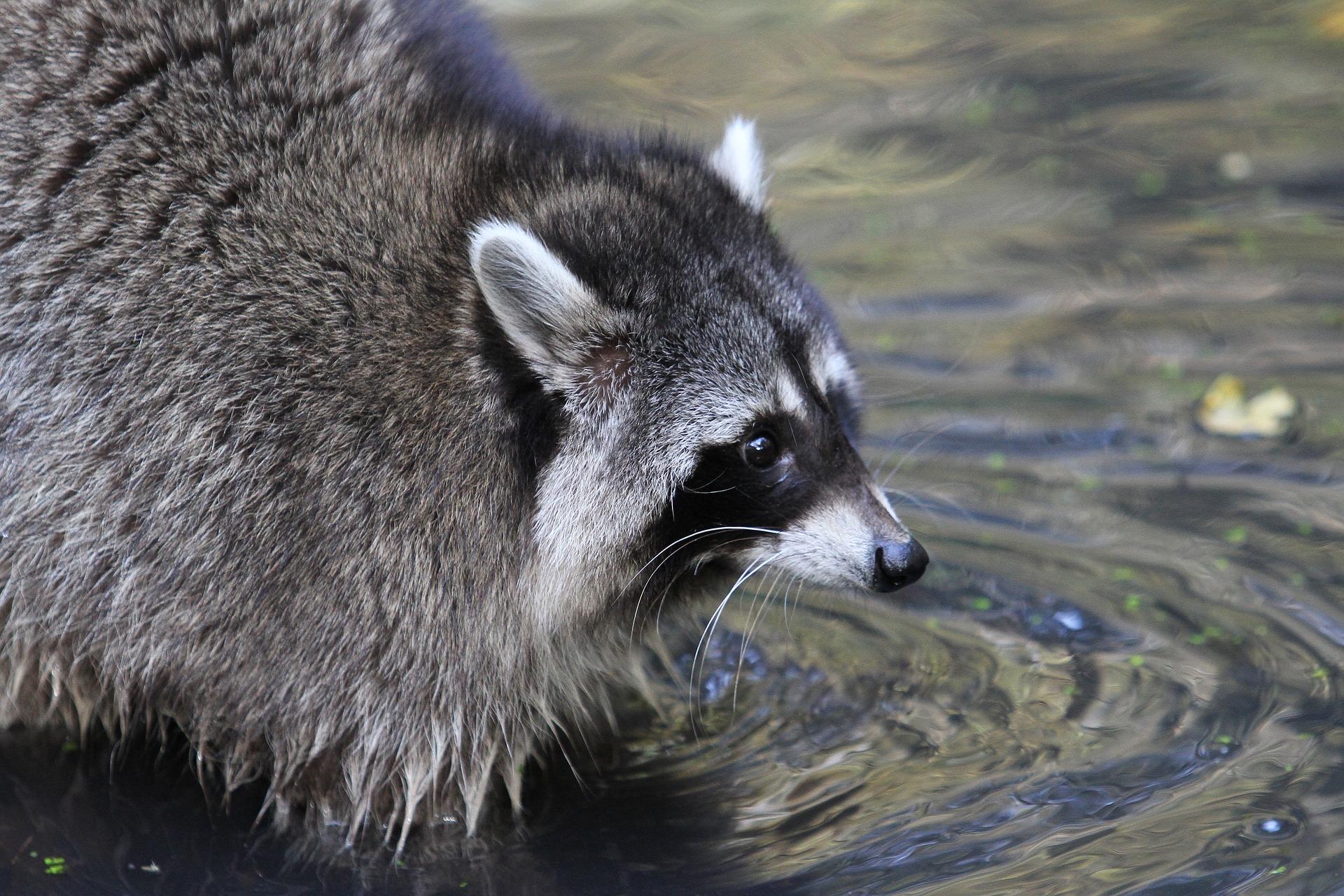 szop pracz, szop w Polsce, czy szop pierze, dlaczego pierze, płukanie jedzenia, blog o dzikich zwierzętach, animalistka, animalistka.pl
