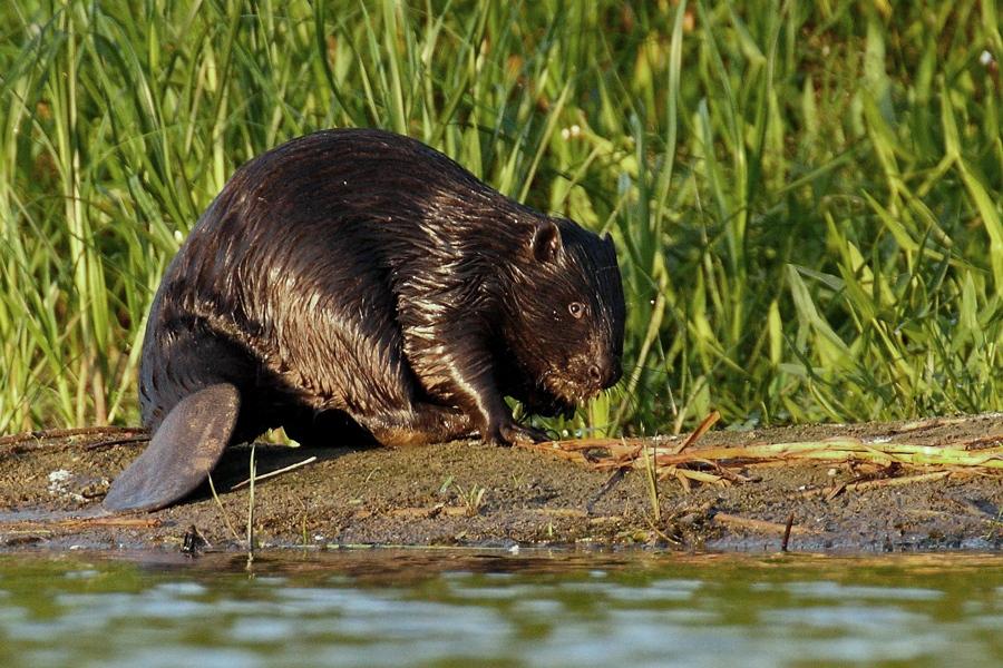 ciekawostki o bobrach, bobry, żeremia, jak żyją, jak budują, zęby bobrów, blog o dzikich zwierzętach, animalistka, animalistka.pl