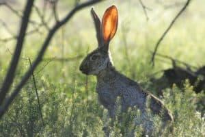 ciekawostki o zającach, fakty, zając, zające, zajączek wielkanocny, polskie ssaki, blog o zwierzętach, o przyrodzie, animalistka, animalistka.pl