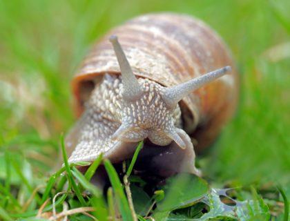 jak ślimak buduje muszlę, skąd ślimaki mają muszle, po co ślimakom muszla, blog o dzikich zwierzętach, blog przyrodniczy, o przyrodzie, animalistka, animalistka.pl
