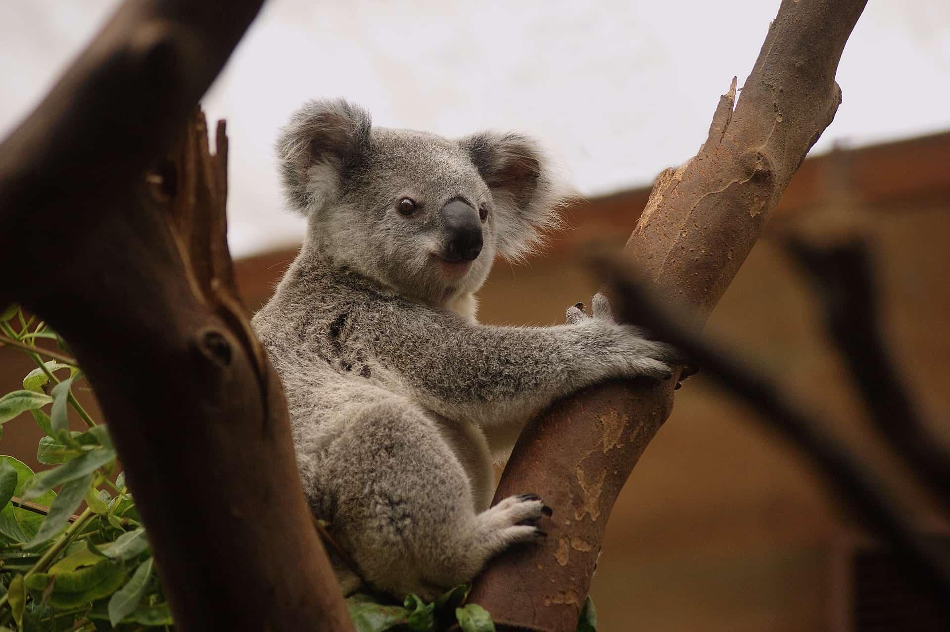 czy koala jest pijany, na haju, co koala je, dlaczego koala tuli się do drzew, miś koala, blog o zwierzętach, o przyrodzie, animalistka.pl, animalistka
