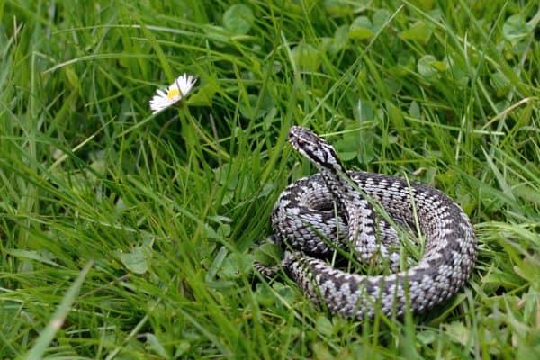 Węże Polski, gatunki polskich węży, wąż eskulapa, żmija zygzakowata, gniewosz plamisty, zaskroniec rybołów, zaskroniec zwyczajny, blog o dzikich zwierzętach, blog przyrodniczy, animalistka.pl