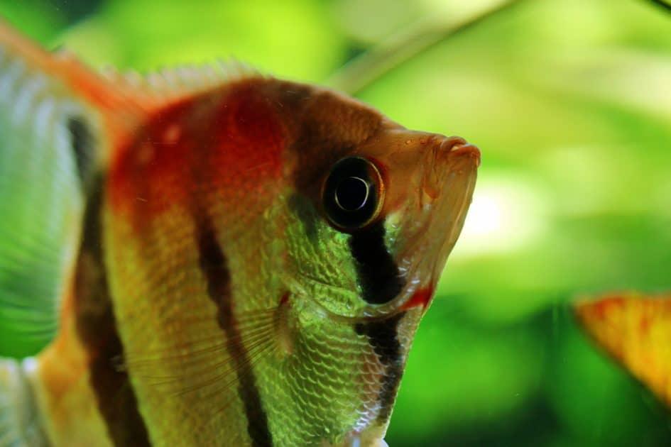 akwarium, zbyt małe akwarium, jak założyć, jakie rybki wybrać, duże rybki w małym akwarium, plantica, internetowy sklep akwarystyczny, blog o dzikich zwierzętach, blog o przyrodzie, animalistka.pl