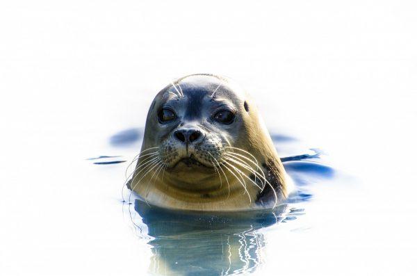 Foka, ciekawostki o fokach, fakty o fokach, życie fok, co wiemy o fokach, blog o dzikich zwierzętach, blog o przyrodzie, animalistka, animalistka.pl